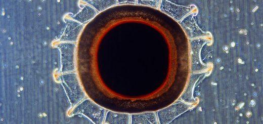 Statoblast bochnatky americké, takřka jediný obrázek tohoto typu na Commons (autor: Josef Reischig, licence CC BY SA 3.0)