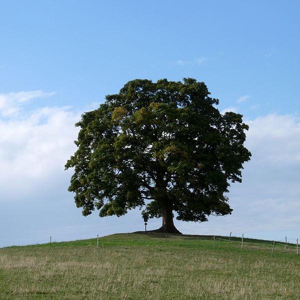 Votický javor, památný strom. Autor: Jitka Erbenová, CC BY-SA 4.0